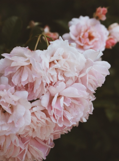 close-up-photo-of-pink-petaled-flowers-2651759